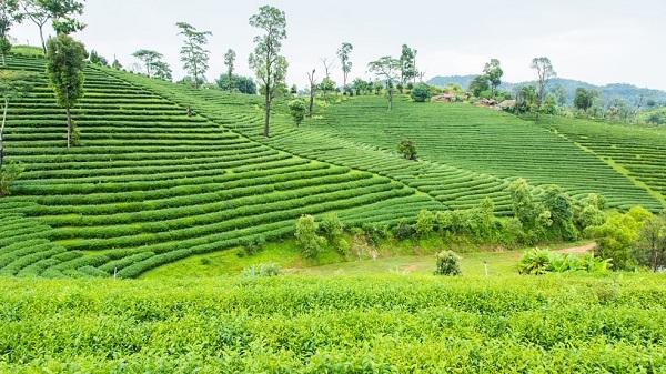 kausani tea garden