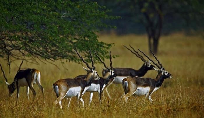 blackbuck national park velavadar